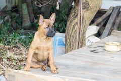 Siamesischer Ridgeback Hund Lizenzfreie Stockbilder
