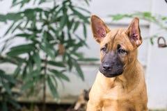 Siamesischer Ridgeback Hund Lizenzfreies Stockfoto