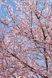 Siamesischer Sakura stockfotos