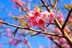 Siamesischer Sakura lizenzfreie stockfotos