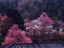 Siamesischer Sakura Lizenzfreie Stockfotografie