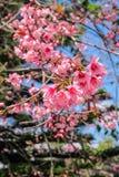 Siamesischer Sakura Stockfoto