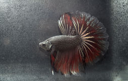 Siamesisches Betta Splendens Stockfotografie