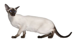 Siamesisches Kätzchen, 7 Monate alte Stockfoto