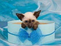Siamesisches Kätzchen im blauen Geschenkkasten Stockbild