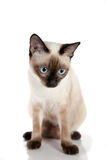 Siamesisches Kätzchen-Sitzen lizenzfreies stockbild