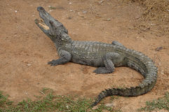 Siamesisches Krokodil Lizenzfreies Stockfoto