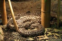 Siamise Spitting Cobra - Naja siamensis Royalty Free Stock Image