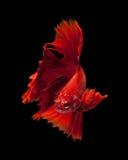 siamois rouge de poissons de combat Photographie stock