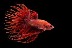 siamois rouge de poissons de combat photo stock