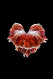 siamois rouge de poissons de combat Photographie stock libre de droits