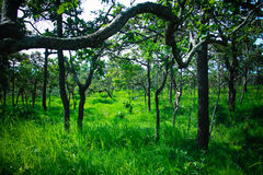 SiamTulip στο εθνικό πάρκο Ταϊλάνδη Στοκ Φωτογραφίες