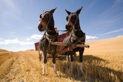 siana mułów ciągnienia furgon Zdjęcie Royalty Free