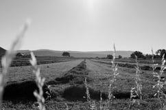 Siano śródpolna czarny i biały fotografia Zdjęcia Royalty Free