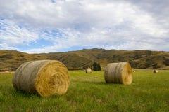 Siano bele w trawiastym padoku, Otago, Nowa Zelandia Zdjęcia Royalty Free