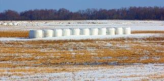 Siano bele w zimie Zdjęcie Royalty Free
