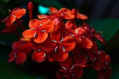 Siantan kwiat Zdjęcie Royalty Free