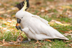 Siarczana czubata kakadu papuga w Sydney parku Turystyczny karmienie w Królewskich ogródach botanicznych Obrazy Royalty Free