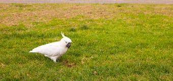 Siarczany Czubaty kakadu Fotografia Stock