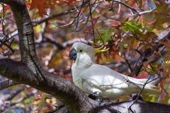 Siarczany czubaty kakadu na drzewie Obrazy Stock