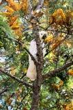 Siarczany Czubaty kakadu w drzewie Zdjęcia Royalty Free