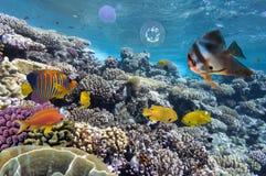 Siarki damsel w czerwonym morzu Fotografia Royalty Free