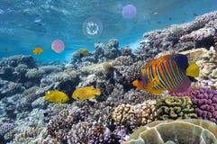 Siarki damsel w czerwonym morzu Fotografia Stock