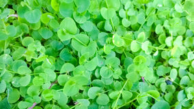 Siatic Pennywort,是在治疗表明的植物 免版税库存图片