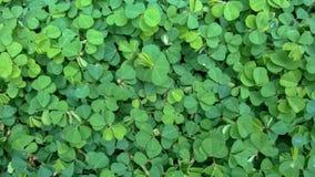 Siatic Pennywort, es una planta de la cual indicó en el tratamiento Fotos de archivo