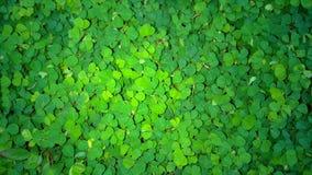 Siatic Pennywort, es una planta de la cual indicó en el tratamiento Fotografía de archivo libre de regalías
