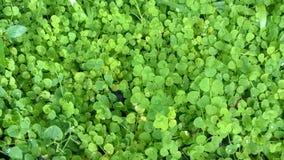 Siatic Pennywort, es una planta de la cual indicó en el tratamiento Fotos de archivo libres de regalías