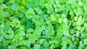 Siatic Pennywort, es una planta de la cual indicó en el tratamiento Imágenes de archivo libres de regalías