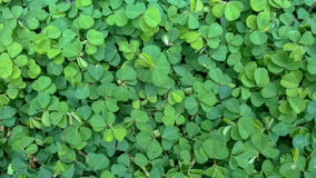 Siatic Pennywort, is a plant that indicated in the treatment  Stock Photos