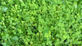 Siatic Pennywort, is a plant that indicated in the treatment  Royalty Free Stock Photos