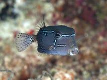 Siatkowaty boxfish zdjęcie royalty free