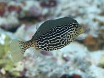 Siatkowaty boxfish Zdjęcia Royalty Free