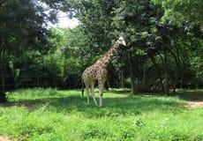 Siatkująca żyrafa obraz stock