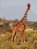 Siatkująca żyrafa w Samburu Krajowej rezerwie Zdjęcie Stock
