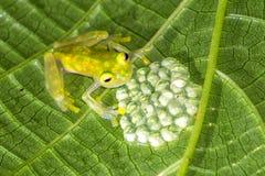 Siatkująca Szklana żaba z jajkami - Costa Rica Fotografia Stock