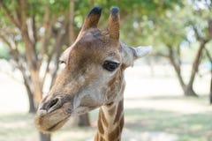 siatkujący żyrafa portret Obrazy Stock