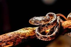 Siatkujący pyton, wąż Zdjęcia Stock