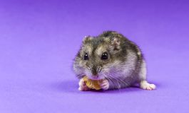 Sibérien gris de hamster sur un fond bleu lilas mange Photo libre de droits