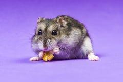 Sibérien gris de hamster sur un fond bleu lilas mange Photographie stock