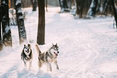Sibérien heureux Husky Dogs Running Together Outdoor en parc de Milou image stock
