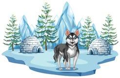 Sibérien Husky Dog dans l'Arctique Image libre de droits