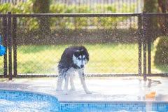 Sibérien Husky Shake Off l'eau près de la piscine photo stock
