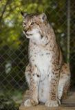 Sibérien Lynx - centre félin de grincement d'ours Photos libres de droits