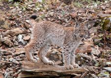 Sibérien Lynx Kitten Climbing Rocks photo stock