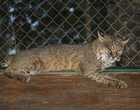 Sibérien Lynx se reposant sur le dessus de toit Photographie stock