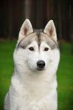 Sibarian husky kaya. Siberian husky kaya on nature Royalty Free Stock Photo